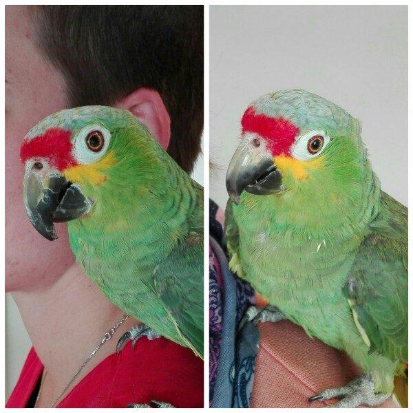 Grüner Papagei auf der Schulter von Jana Soetebier nach der Schnabelpflege
