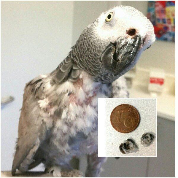 Papagei verliert Gefieder