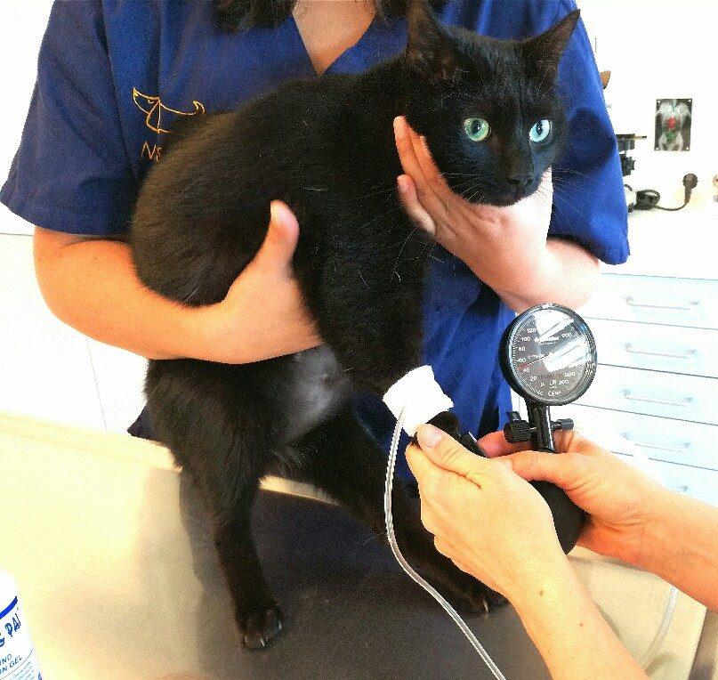 Katze Blutdruckmessen auf dem Behandlungstisch