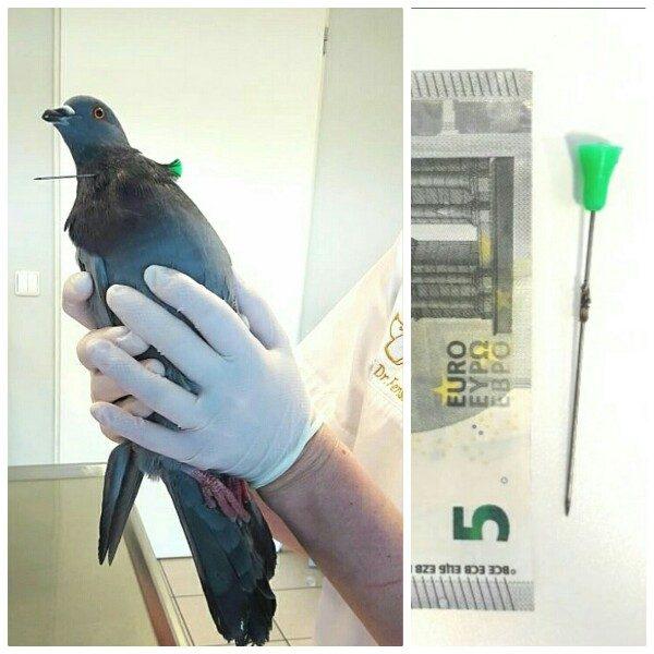 Taube mit Pfeil im Hals beim Tierarzt